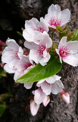 春の絵手紙 つくし、野蒜、鉄仙、木瓜、ねこ、花大根