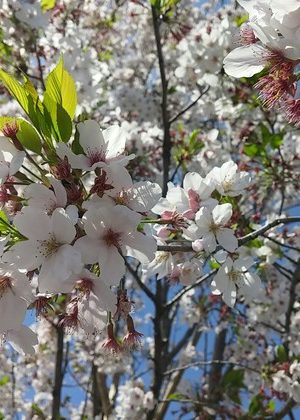 桜の絵手紙
