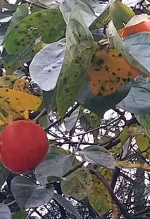 柿の絵手紙
