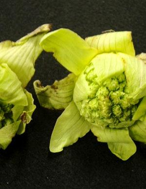 絵手紙 蕗の薹、白梅、フリージア、南天、チューリップ、菜の花