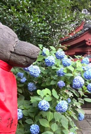 【王子稲荷神社】紫陽花の名所・アクセス・料金・【東京都北区】