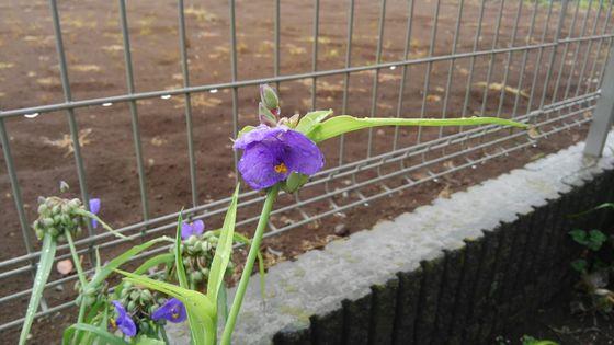 紫露草の絵手紙